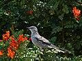 Northern Mockingbird (29901209595).jpg
