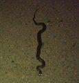 Northern Water snake (Nerodia sipedon).jpg