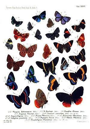 Riodinidae - Riodinidae, from Reise der Osterreichischen Fregatte Novara um die Erde (1861–1876)