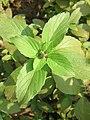 Ocimum basilicum Sweet Basil, Common Basil, Thai Basil at Wayanad 2019 (3).jpg