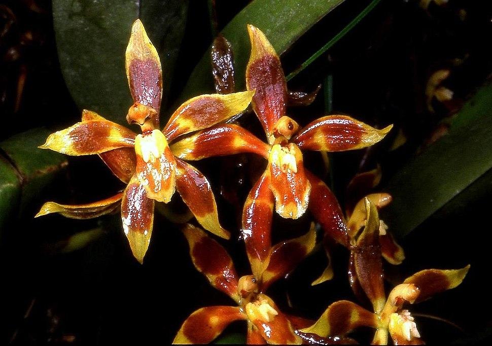 Odontoglossum cruentum Orchi 01