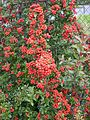 Ognik szkarłatny (Pyracantha coccinea M.Roem) 01.jpg