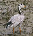 Oie à tête barrée - Bar-headed goose.jpg