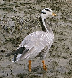 Oie à tête barrée - Bar-headed goose.jpg