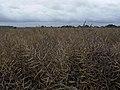 Oilseed Rape (Canola) - geograph.org.uk - 483676.jpg