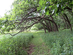 Olson Nature Preserve - One of the trails at Olson Nature Preserve, near the oak grove.
