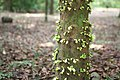 Omphalocarpum procerum - 04.jpg