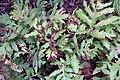 Onoclea sensibilis 6zz.jpg