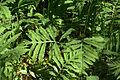 Onoclea sensibilis leaves.jpg