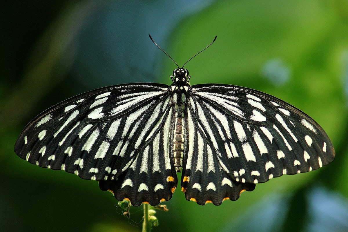 Papilio clytia - Wikipedia