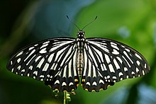 Open wing position of Papilio clytia, Form Dissimilis, Linnaeus, 1758 – Common Mime WLB.jpg