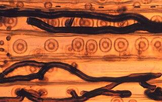 Ophiostomataceae family of fungi