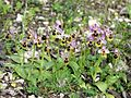 Ophrys tenthredinifera Mallorca 2008 74.jpg