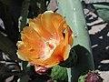 Opuntia ficus-indica Burbanks Spineless1GEHU.jpg