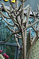 Opuntia imbricata 15zz.jpg