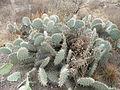 Opuntia sp. (5661406844).jpg
