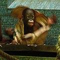Orangutan-03-ZOO.Dvur.Kralove.jpg