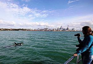 Hauraki Gulf - An orca swims nearby waterfronts of Auckland city.