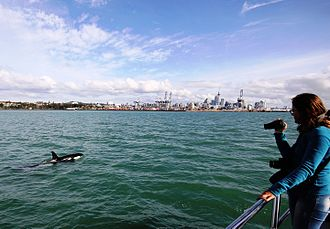 Hauraki Gulf - An orca swims in Waitematā Harbour, with Auckland CBD in the background.