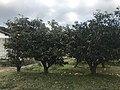Orchard near Mount Tachibanayama.jpg