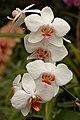 Orchid Cultivar White Flowers 2000px.jpg