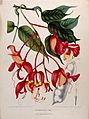 Orchid Tree or Pride of Burma (Amherstia nobilis Wallich.); Wellcome V0042680.jpg