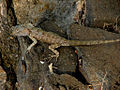 Oriental Garden Lizard, India.jpg