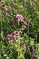 Origanum vulgare, Le Brey - img 13661.jpg