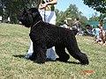 Orosz fekete terrier.jpg
