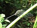 Orthetrum sabina - Green Marsh Hawk at Kottiyoor (6).jpg