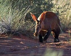 Un oryctérope, dans son milieu naturel, en Afrique du Sud