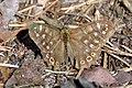 Osadnik egeria, rezerwat przyrody Pazurek, 20200801 0957 3350.jpg
