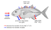 Osmoseragulation Carangoides bartholomaei bw en.png