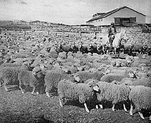 Patagonian sheep farming boom - Tierra del Fuego sheep ranch in 1942. That was the region's primary activity at that time, but that has been affected by the decline in the global wool market as much as by petroleum and gas extraction.