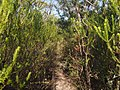 Overgrown bush trail from Kariong to Girrakool - panoramio.jpg