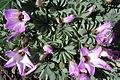 Oxalis adenophylla (8658804453).jpg