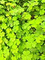 Oxalis stricta growing like a weed on sidewalk of Mumbai city.jpg