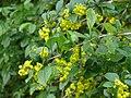P1020841-Berberis-vulgaris.JPG