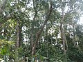 P33 Lawachara National Park, In Moulovibajar, Bangladesh.jpg