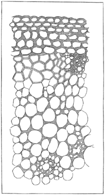 PSM V21 D304 1 Epidermis and cell structure of leafs.png