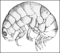 PSM V72 D186 Talorchestria sand flea in the death feint.png