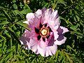 Paeonia 3 (Poltava Botanical garden).jpg