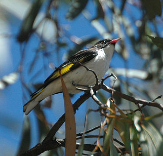 Culgoa Floodplain National Park - Image: Painted Honyeater Jandowae Oct 07
