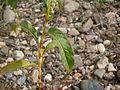 Pale Knotweed leaf (3438608191).jpg