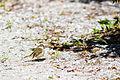 Palm warbler (24912790431).jpg