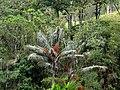 Palma de cerca del Quindío (Ceroxylon quindiuense) - Flickr - Alejandro Bayer.jpg