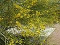 Palo Brea in Bloom, 2013 - panoramio.jpg