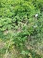Papaver dubium subsp. austromoravicum sl9.jpg