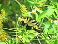 Papilio glaucus (43323706950).jpg