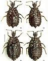 Paralibiocoris roundangulus (10.3897-zookeys.789.26165) Figures 18–21.jpg